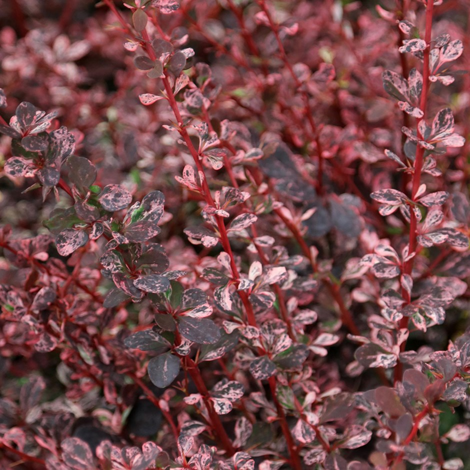 herb to fight against breast cancer